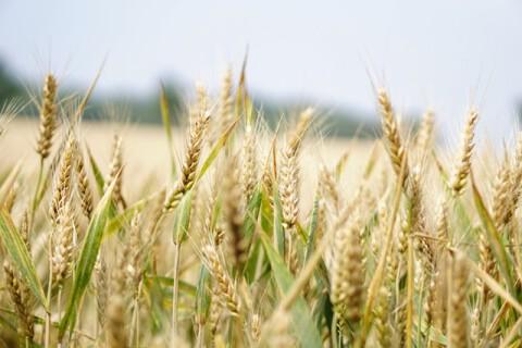 agriculture-arable-barley-blur-265216